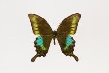 Papilio polyctor Boisduval, 1836