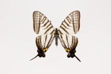Graphium eurous asakurae (Matsumura, 1908)