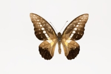Graphium wallacei (Hewitson, 1858)