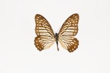 Graphium macareus indicus (Rothschild, 1895)