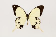 Papilio dardanus Brown, 1776