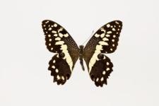 Papilio demodocus Esper, 1799