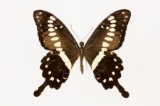 Papilio menestheus Drury, 1773