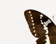 Papilio delalandei Godart, 1824