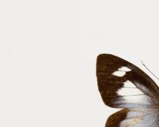 Leptophobia caesia tenuicornis Butler & Druce, 1872