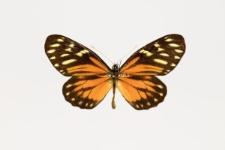 Charonias eurytele (Hewitson, 1853)