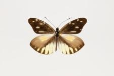 Dismorphia lewyi (Lucas, 1852)