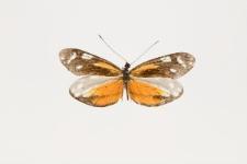 Dismorphia theucharila siloe (Hewitson, 1858)