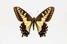 Papilio zelicaon Lucas, 1852