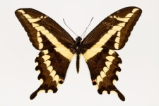 Papilio paeon Boisduval, 1836