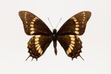 Papilio scamander grayi Boisduval, 1836
