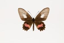 Parides neophilus consus (Rothschild & Jordan, 1906)