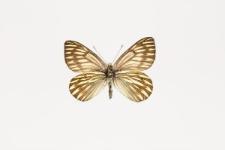 Tatochila xanthodice (Lucas, 1852)