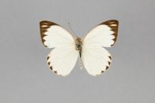 Ascia monuste orseis (Godart, 1819)