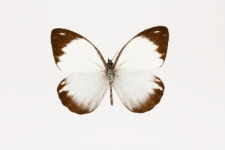 Periballia viardi locusta (C.& R. Felder, 1861)