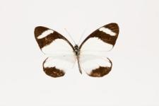 Perrhybris lorena (Hewitson, 1852)