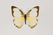 Appias drusilla poeyi (Butler, 1872)