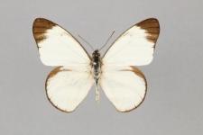 Hesperocharis hirlanda apicalis (Fruhstorfer, 1907)