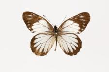 Catasticta teutamis (Hewitson, 1860)