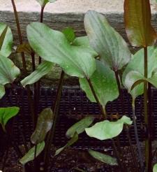 Echinodorus 'Harlekin'