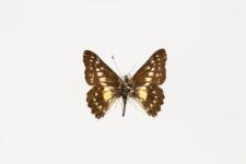 Catasticta chrysolopha (Kollar, 1850)