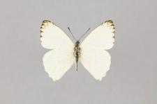 Hesperocharis marchalii (Guérin-Méneville, 1844)