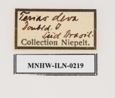 Eurema deva (Doubleday, 1847)