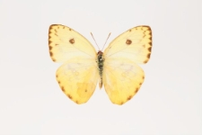 Phoebis sennae (Linnaeus, 1758)