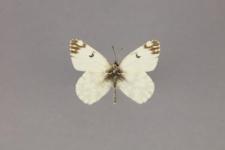 Euchloe ausonides (Lucas, 1852)