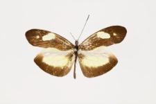 Dismorphia zathoe othoe (Hewitson, 1867)