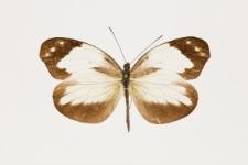 Dismorphia crisia foedora (Lucas, 1852)