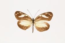 Dismorphia zaela abilene (Hewitson, 1872)