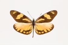 Dismorphia melia (Godart, 1824)