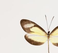 Moschoneura pinthous methymna (Godart, 1819)