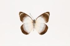 Delias timorensis (Boisduval, 1836)