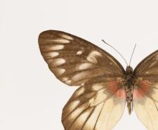 Delias pasithoe thyra Fruhstorfer, 1905