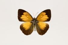 Ixias flavipennis Grose-Smith, 1885