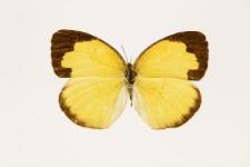 Eurema hecabe sulphurata (Butler, 1876)