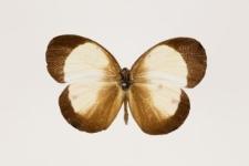 Eurema candida xanthomelaena (Godman & Salvin, 1879)