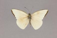 Saletara liberia (Cramer, 1779)