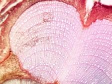 Krzewinka Salix reticulata