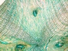 Krzewinka Salix polaris