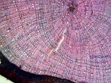 Shrub Betula nana