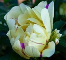 Paeonia 'Lemon Dream'