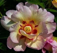 Paeonia 'Pastel Splendor'