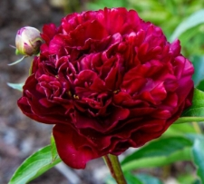 Paeonia lactiflora 'Highlight'
