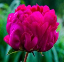 Paeonia lactiflora 'Mary Brand'