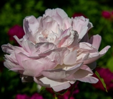 Paeonia lactiflora 'Mme Emile Galle'
