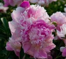 Paeonia lactiflora 'Umbellata Rosea'