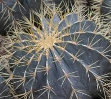 Ferocactus glaucescens (DC.) Britton et Rose